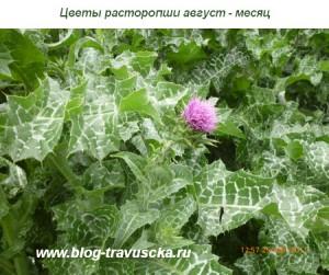цветы расторопши