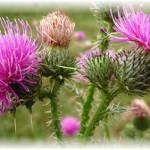 Расторопша — лечебная колючка. Использование семян для очищения организма
