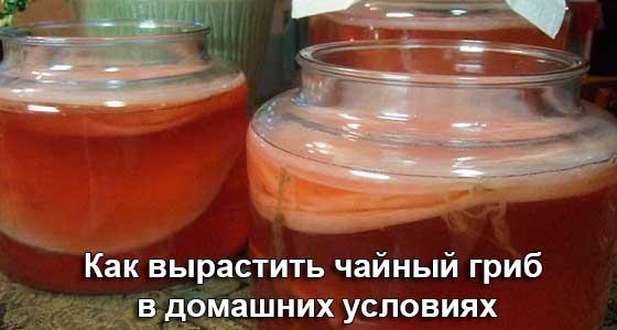 Как вырастит чайный гриб в домашних условиях с нуля