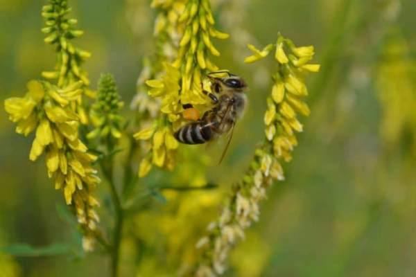 пчела на доннике