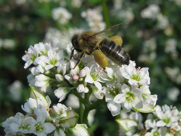 Пчелы собирают мед