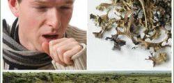 Исландский мох от кашля для детей – природное и эффективное средство!