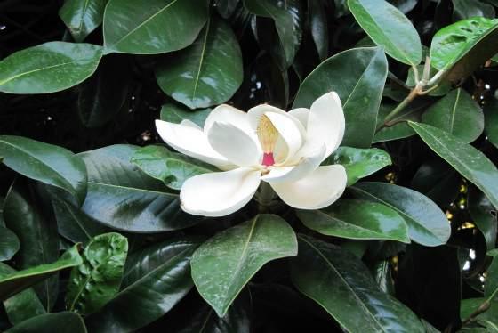 Фикус цветок