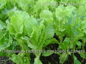 листовой салат польза