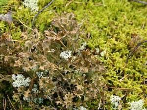 мох от кашля